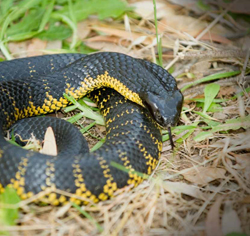 black snake with yellow markings