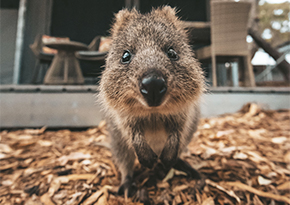 close up on the face of a quokka